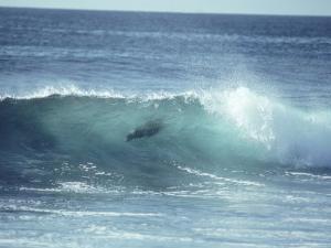 Galapagos Sea Lion, Body Surfing, Galapagos by Mark Jones