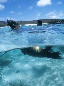 Galapagos Sea Lion, Playful Pups Cavorting, Galapagos by Mark Jones