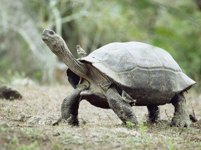 Giant Tortoise, Birds Picking Ticks, Isabella Island, Galapagos