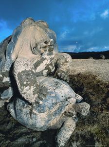 Giant Tortoise, Mating, Isabella Island, Galapagos by Mark Jones