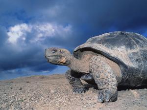 Giant Tortoise, Sunrise, Isabella Island, Galapagos by Mark Jones