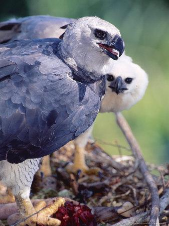 Harpy Eagle, Delivering Fresh Tambopata Kill, Tambopata River, Peruvian Amazon