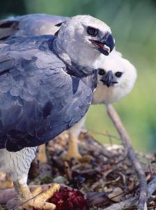 Harpy Eagle, Delivering Fresh Tambopata Kill, Tambopata River, Peruvian Amazon by Mark Jones