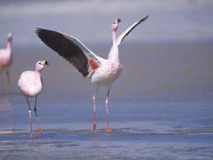Jamess Flamingo, Courtship Display, Laguna Colorada, Bolivia by Mark Jones