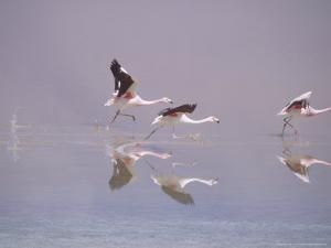 Jamess Flamingo, Taking off from Lake, Laguna Colorada, Bolivia by Mark Jones
