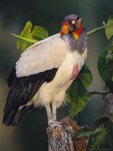 King Vulture, with Full Crop, Tambopata River, Peruvian Amazon by Mark Jones