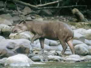 Lowland Tapir, Frequenting Mineral Seep, Yanachaga-Chemellin National Park, Peru by Mark Jones