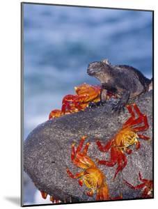 Marine Iguana & Sally Lightfoot Crabs, Mosquera Island, Galapagos by Mark Jones