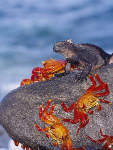 Marine Iguana & Sally Lightfoot Crabs, Mosquera Island, Galapagos by Mark Jones