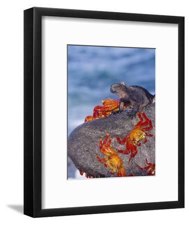Marine Iguana & Sally Lightfoot Crabs, Mosquera Island, Galapagos