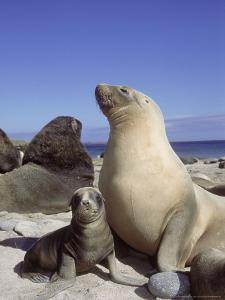 New Zealand (Hooker) Sea Lion, Cow Bonding with Young Pup, Auckland Group by Mark Jones
