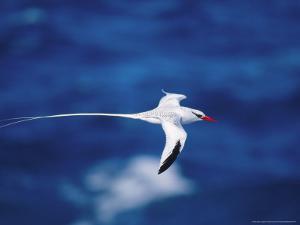 Red Billed Tropicbird in Flight, Hood Island, Galapagos by Mark Jones