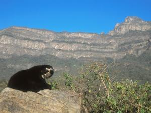 Spectacled Bear Male in Dry Forest Habitat, Peru by Mark Jones