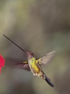 Sword-Billed Hummingbird in Montane Forest Along Eastern Andean Slope, Ecuador by Mark Jones