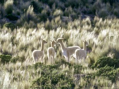 Vicuna, 3 Week Old Babies Group Together, Peruvian Andes