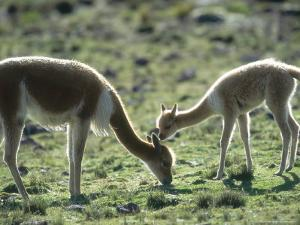 Vicuna, Mother with 3 Week Old Baby, Peruvian Andes by Mark Jones