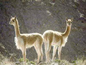 Vicuna, Wild High Andes Cameloid, Peru by Mark Jones
