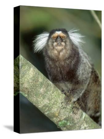 White Tufted-Eared Marmoset, Tijuca National Park, Brazil