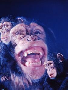 Darwin's Study of the Expressions of Monkeys in Formulating His Theory of Evolution by Mark Kauffman