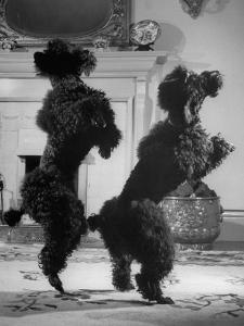 French Poodles Standing on Hind Legs by Mark Kauffman