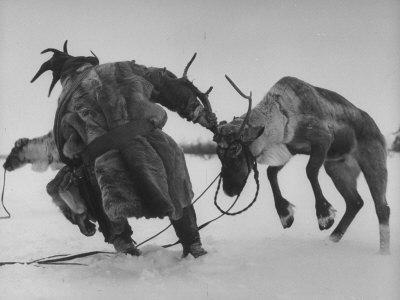 Lapp Struggling to Harness One of His Reindeer
