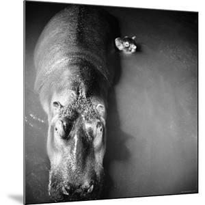 """Mother Hippo """"Bebe"""" and Her Daughter by Mark Kauffman"""