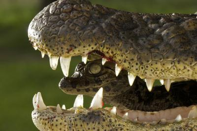 Broad Snouted Caiman (Caiman Latirostris) Baby In Mothers Mouth Being Carried From Nest