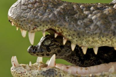Broad Snouted Caiman (Caiman Latirostris) Baby In Mothers Mouth Being Carried From The Nest