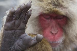 Japanese Macaque (Macaca Fuscata) Sleeping at Hot Spring in Jigokudani by Mark Macewen