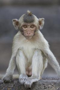 Juvenile Long-Tailed Macaque (Macaca Fascicularis) at Monkey Temple by Mark Macewen