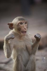 Juvenile Long-Tailed Macaque (Macaca Fascicularis) Flossing its Teeth with String by Mark Macewen