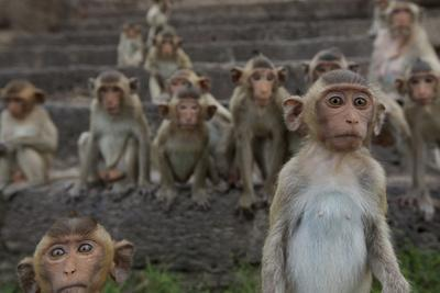 Long-Tailed Macaques (Macaca Fascicularis) Group of Juveniles on Steps at Monkey Temple