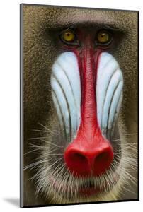Mandrill Male (Mandrillus Sphinx) Close Up Face Portrait, Lekedi National Park, Gabon by Mark Macewen