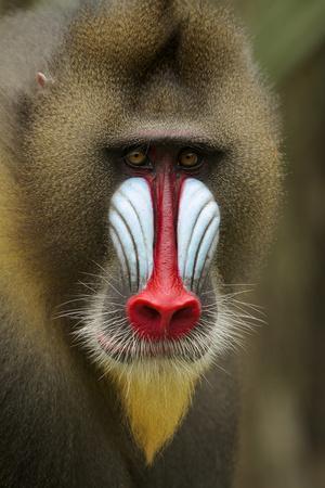 Mandrill Male (Mandrillus Sphinx) Close Up Portrait, Lekedi National Park, Gabon