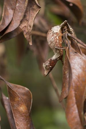 Satanic Leaf-Tailed Gecko (Uroplatus Phantasticus) On Twig