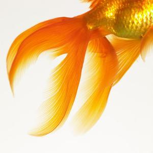 Close-up of a Goldfish Tail by Mark Mawson