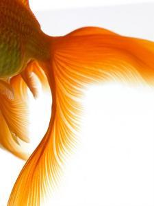 Close-up of Goldfish Tail by Mark Mawson