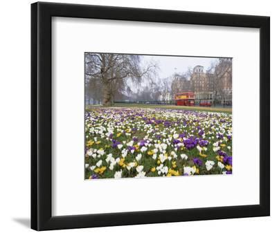 Crocus Flowering in Spring in Hyde Park, Bus on Park Lane in the Background, London, England, UK