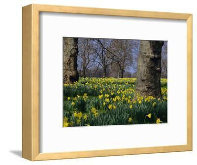 Daffodils Flowering in Spring in Hyde Park, London