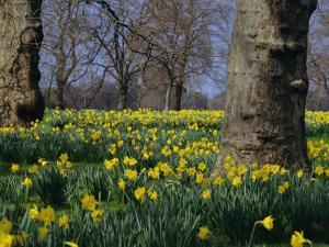 Daffodils Flowering in Spring in Hyde Park, London by Mark Mawson