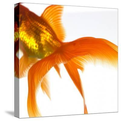 Detail of a Goldfish Tail