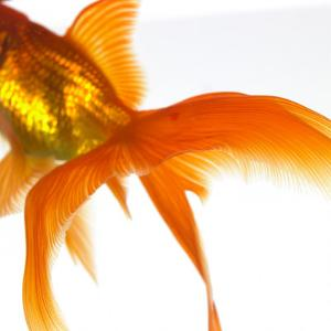 Detail of a Goldfish Tail by Mark Mawson