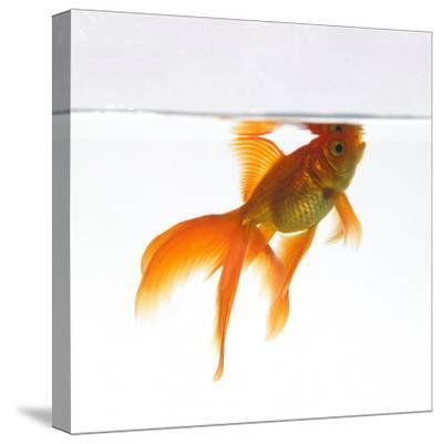 Goldfish Swimming Just Below the Surface of the Water