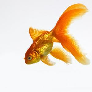 Goldfish by Mark Mawson
