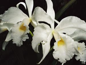Orchid, Close-Up of White Flowers Wet with Rain, Atlantic Forest, Brazil by Mark Moffett