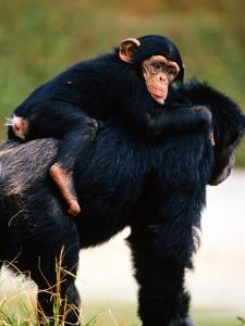 Baby Chimpanzee Lying on Mother's Back (Pan Satyrus), Miami, U.S.A. by Mark Newman