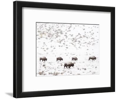 Bison in a Snow Storm