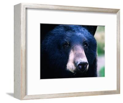 Black Bear (Ursus Americanus), U.S.A.