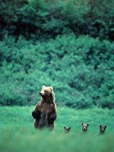 Brown Bear and Cubs, Mikfik Creek, U.S.A. by Mark Newman