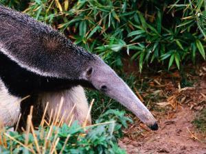 Captive Giant Anteater (Myrmecophaga Tridactyla), Brazil by Mark Newman